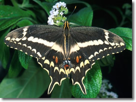 The endangered Schaus swallowtail butterfly (male)